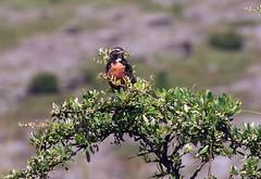 Loica (Aves... Marcelo W.) Tags: bird argentina aves ave loica sturnella sturnellaloyca loicacomún longtalledmeadowlark