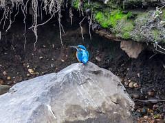 Martin-pcheur d'Europe (Alcedo atthis) (yann.dimauro) Tags: france animal fr extrieur oiseau rhone rhnealpes givors ornithologie yanndimauro