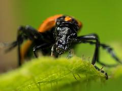 Lycid Beetle (piggsyface) Tags: macro beetle olympus brisbane tokina raynox raynoxdcr250 lycid lycidbeetle