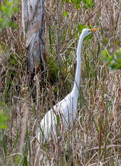 20160216-_74P7618.jpg (Lake Worth) Tags: bird nature birds animal animals canon wings florida wildlife feathers wetlands everglades waterbirds southflorida birdwatcher canonef500mmf4lisiiusm