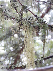 Usnea in the woods of Les Gets (Alta alatis patent) Tags: winter lesgets usnea