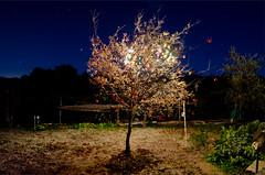 """Injerto"" (coralize.) Tags: christmas blue light tree nature night arbol navidad luces airelibre huerto injerto"