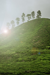 Tea Plantation in Misty Morning with Lens Flare. (raydignityphotography) Tags: morning travel blue trees light sky cloud sunlight mountain plant tree green nature floral beautiful field leaves rural season landscape leaf highlands flora scenery asia estate view tea terrace farm hill grow scene farmland fresh highland rows cameron valley crop malaysia plantation land tropical environment agriculture slope cultivation agricultural freshness
