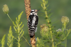 Downy woodpecker (Phiddy1) Tags: ontario canada male birds woodpecker whitby downy hallsroad
