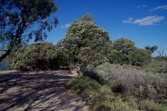 Melaleuca lanceolata, Pelican Point, Lake Bonney, near Barmera, SA, 15/02/16 (Russell Cumming) Tags: plant southaustralia melaleuca myrtaceae barmera renmark lakebonney pelicanpt melaleucalanceolata