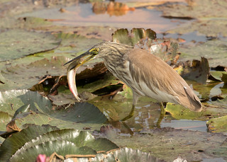 Indian Pond Heron - Ardeola grayii