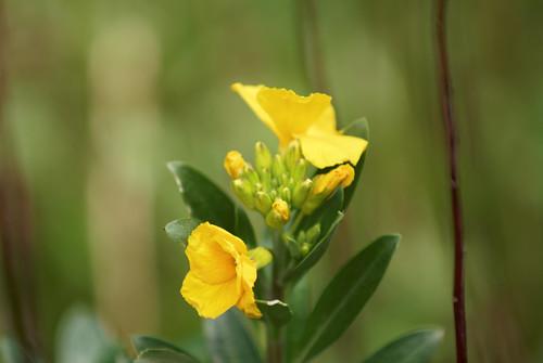 La corolle jaune - The yellow corolla