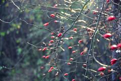 Species rose (anna.night) Tags: winter light red wild flower macro green nature fruits rose fruit garden nikon branches poland polska natura makro zima d7100 wojnwko