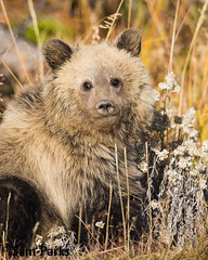 GB393 (Sam Parks Photography) Tags: flowers autumn baby fall animal closeup rockies mammal cub nps wildlife young large headshot valley yellowstonenationalpark rockymountains wildflowers wyoming tight predator coy juvenile carnivorous reproduction offspring carnivore ynp biggame firstyear parkservice grizzlybear predatory reproduce silvertip gye omnivorous ursidae carnivora omnivore ursine ursusarctoshorribilis verticalorientation greateryellowstoneecosystem northamericanbrownbear cuboftheyear springcub hyperphagia