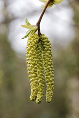 Catkins Ness Botanic Gardens (cathbooton) Tags: tree nature easter march spring outdoor depthoffield canoneos wirral catkins lambstails merseyside canonusers nessbotanicgardens