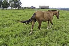 """Cavalos 03 (Parchen) Tags: horse animal foto pasto cavalos fotografia cavalo imagem mamífero registro doméstico fega domesticado pastagem potreiro """"equus parchen """"cavalo carlosparchen doméstico"""" caballus"""""""
