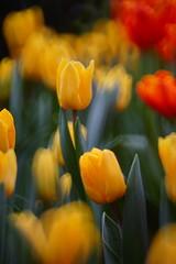 DSC07233 (Alder) Tags: park flower festival hongkong mirror victoria 300mm hong kong tulip f56 vitoria 2016 spiratone mintels pluracoat 20160319
