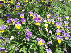 Violas light purple