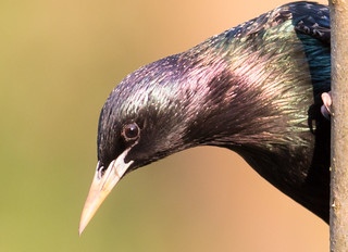 Starling in Evening Sun -3453