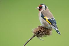 Goldfinch (Explored) (Gareth Keevil) Tags: uk wild colour detail birds closeup spring goldfinch gloucestershire finch colourful gardenbird nikond810 nikon500mm garethkeevil