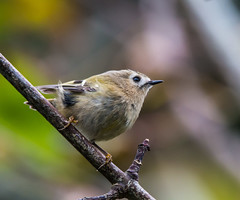Goldcrest (ijw20032000) Tags: october garrison scilly stmarys 2015