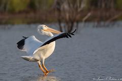 Rubino American White Pelican landing 20160326 Lake Hodges CA 093 (Ryan Rubino) Tags: ca white lake bird water pelican landing american impact touchdown hodges braking pelecanus erythrorhynchos