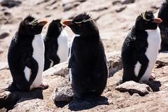 Rockhopper Penguins (Barbara Evans 7) Tags: island penguins barbara falklands rockhopper antarctic saunders evans7