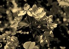 IMG_4576c_jnowak64 (jnowak64) Tags: sepia poland polska krakow natura makro cracow kwiaty mik wiosna malopolska przyroda bronowice drzewo krakoff