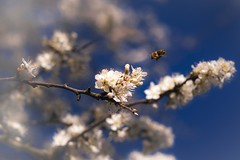 Action.. (frantiekl) Tags: life blue white detail tree nature spring blossom bokeh outdoor depthoffield bee bloom crown blooming