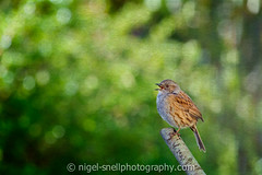 DSC_7091-2 (nigelsnell) Tags: bird birds photo10 ononesoftware dunnockprunellamodularis