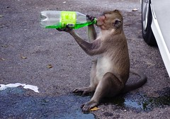 so thirsty (ArtyCh.) Tags: monkey soft drink thirsty chonburi