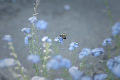 mostly blue (Igor Kare) Tags: bee forgetmenot mygarden