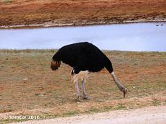 Monarto Zoo - Ostrich (samcol6) Tags: nature animals lumix zoo sam south australia panasonic ostrich col 2016 monarto fz150 samcol6
