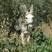 Donkey, West Bank