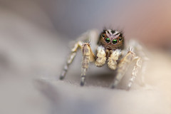 Aelurillus v-insignitus (Tom Rop) Tags: macro nature animal canon spider jumping bokeh sigma araigne bague allonge 105mm arachnide salticidae 600d araneomorphae sauteuse em140dg aelurillus vinsignitus