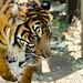 Sumatran Tiger of Ueno Zoo : 上野動物園のスマトラトラ