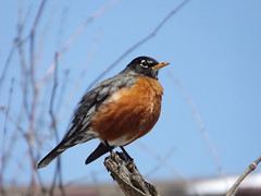 Red Crested Robin 2 (car show buff1) Tags: flowers blue sunset red canada nature robin landscapes woodpecker jay waterfront tulips cardinal dove flag wildlife trails finch chipmunk sparrow daffodil marigold crested oakville ravines on