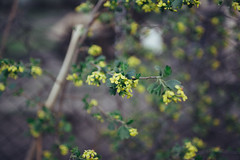 Currant (Frostroomhead) Tags: plants nature yellow nikon bokeh f14 sigma currant 30mm d5200