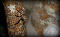 elephant weevil (dustaway) Tags: arthropoda insecta coleoptera curculionidae molytinae orthorhinus orthorhinuscylindrirostris elephantweevil australianinsects australianbeetles tamborinemountain sequeensland queensland australia nature mounttamborine snoutbeetles weevilbeetle