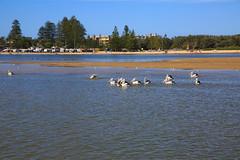 LR-160316-057.jpg (Finert) Tags: theentrance friendlyflickr pelicanfeeding 160316