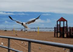 DSC_2095 (abi.rayner) Tags: blue sky seagulls newyork bird nature birds landscape coneyisland island photography flying photo wildlife seagull coney