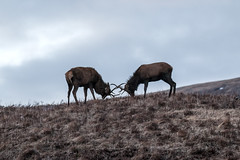 Stag (Jimmy Reid Photography) Tags: nature scotland highlands stag wildlife deer rut etive