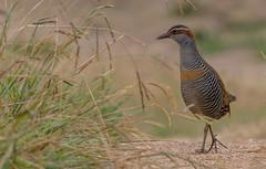 buff-banded rail (Gallirallus philippensis)-8982 (rawshorty) Tags: birds australia canberra act jerrabomberrawetlands rawshorty