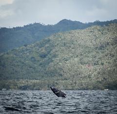 jump (Erzengel69) Tags: dominicanrepublic humpbackwhale wal dominikanischerepublik buckelwal wahle eahlewatching