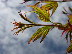 Blattentfaltung (Jrg Paul Kaspari) Tags: leaves garden leaf spring maple acer blatt bltter garten acerpalmatum trier frhling palmatum petrisberg ahorn austrieb fcherahorn