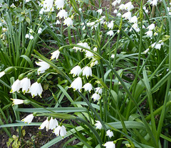 Snowflake flower  #40 (Lovetostitch) Tags: snowdrops