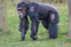 Chimpanzee 2016-04-06-0003 (BZD1) Tags: nature animal mammal natuur pan chimpanzee beeksebergen primates pantroglodytes chimpansee chordata synapsida hominidae commonchimpanzee hominini haplorhini