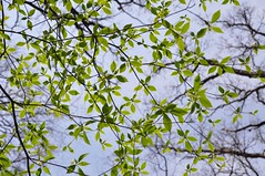 the veil (christiaan_25) Tags: new blue sky sunlight tree green nature up leaves season outdoors leaf spring branches twigs backlighting springtime upward