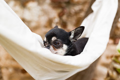 Curtis I (StoryofLove Chihuahuas) Tags: dog pet pets chihuahua cute love dogs puppy cool sweet perro chihuahuas cachorro lovely puppi perrito puppie pupie