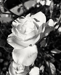 Rose in monochrome (Thad Zajdowicz) Tags: cameraphone blackandwhite bw white black flower nature monochrome rose mobile outside daylight flora outdoor availablelight cellphone turbo smartphone motorola android droid photoshopexpress zajdowicz