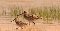 friends (Dianne M.) Tags: friends nature grass outside bay florida ngc swamp dunlin marbledgodwit