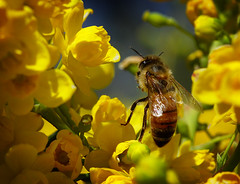 Searching for Gold (arbyreed) Tags: flowers yellow closeup close bee earthday oregongrape arbyreed