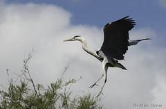 _DSC0441 (chris30300) Tags: france heron de pont parc oiseau camargue gau saintesmariesdelamer flamant provencealpesctedazur ornithologique