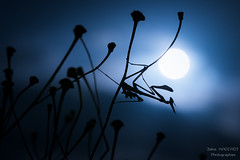 blue hour (zakia hadjadj) Tags: blue moon macro up lune nikon close sigma 150 macrophotography zakia macrophotographie diablotin empusa pennata empuse hadjadj zakigraphies