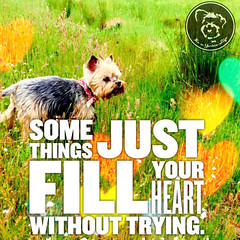 My heart is full - how about yours? (itsayorkielife) Tags: yorkie quote yorkshireterrier yorkiememe